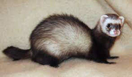 Picture for category Ferrets