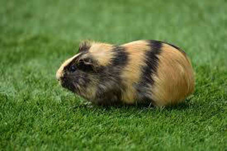 Picture for category Guinea Pigs